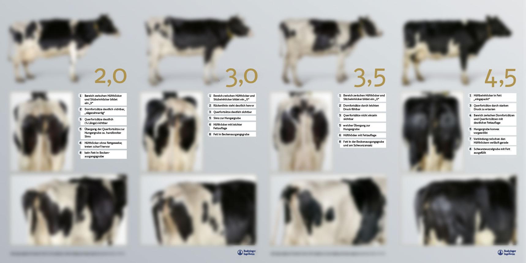 BCS – Body Condition Scoring für Deutsche Holsteins